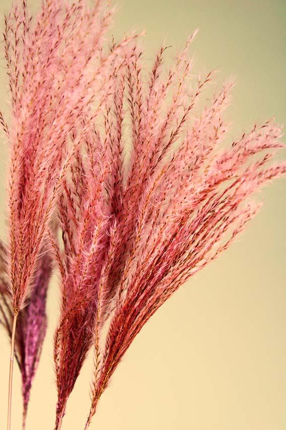 Silver grass roze closeup