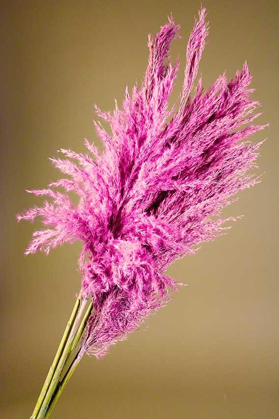 Roze pampas pluimen closeup